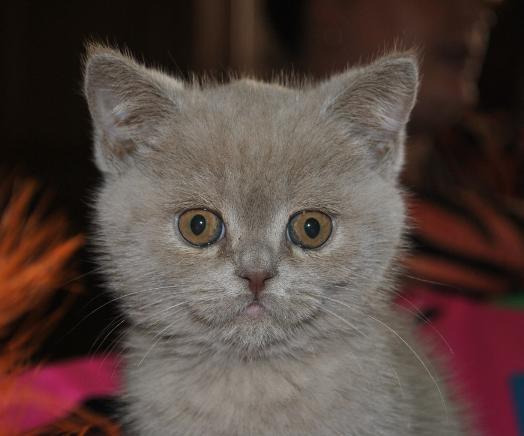 Лиловый кот шотландский фото